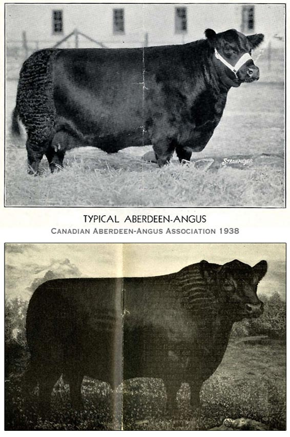 Typical Angus - 1938